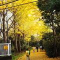 Photos: 黄金ロードに黄色いランドセルしょって