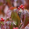 写真: 秋雨に色付く