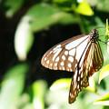 写真: アサギマダラ
