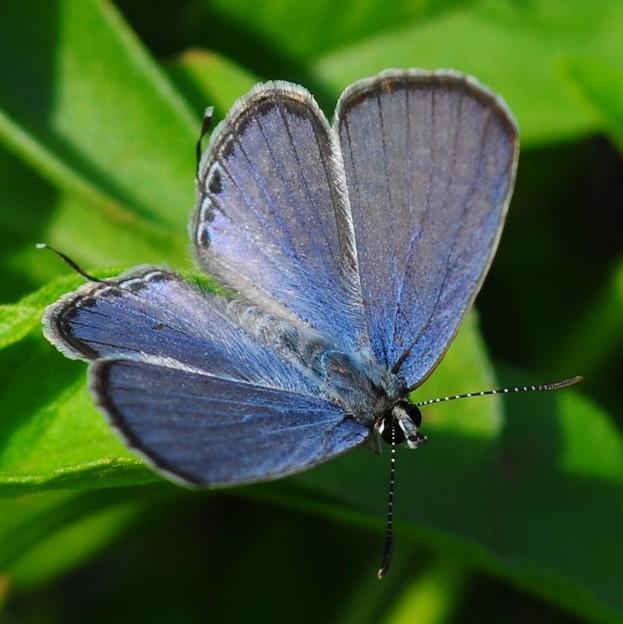 蝴蝶的色有如珍珠