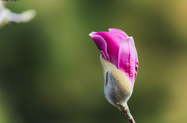木蘭の画像 p1_19