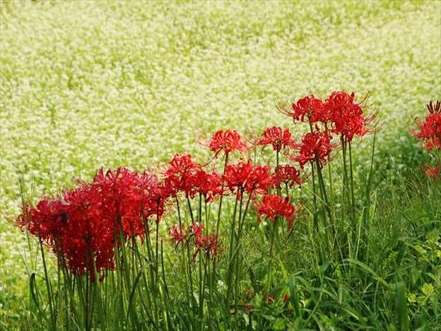 彼岸花とソバの花競演