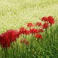 写真: 彼岸花とソバの花競演