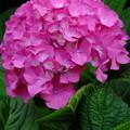 さすが標高の高い長野県、いまだに蓮はつぼみで紫陽花が綺麗です!