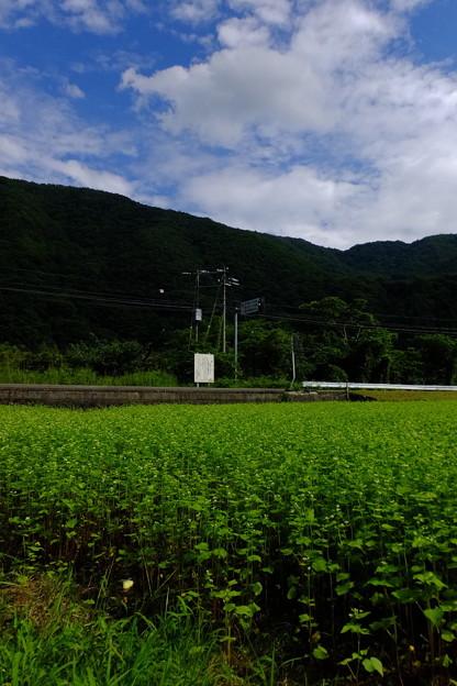 そばの花の向こうに道路と電線がありますが、なんかまるで鉄道が走っているようにも見えます!