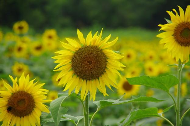 向日葵の花言葉は・・・