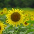 Photos: 向日葵の花言葉は・・・