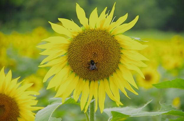 向日葵とクマバチ