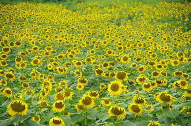 向日葵群生