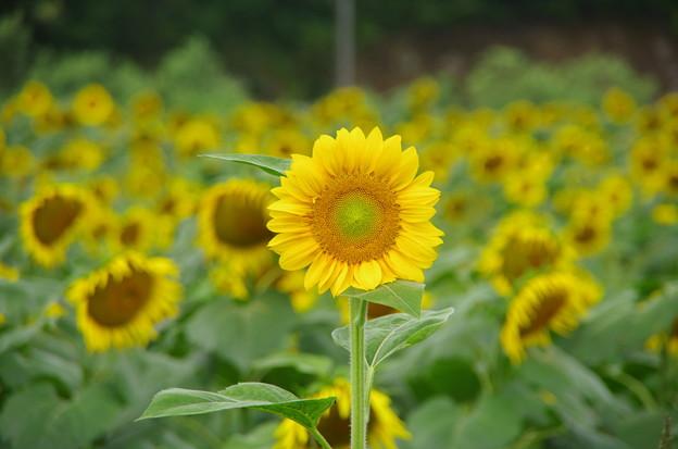 向日葵の若い花