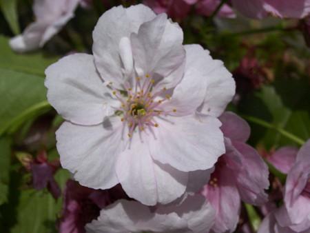 血脈桜(南殿)