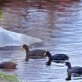 写真: 写真00072 釣堀は今年もオオバンの一族10羽ほどに占拠され