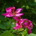 写真: 写真00409 フイリソシンカ