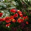 写真: 写真00334 赤いブーゲピリア
