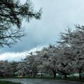 Photos: 写真00174  小岩井農場・県道の桜並木(まきば園)