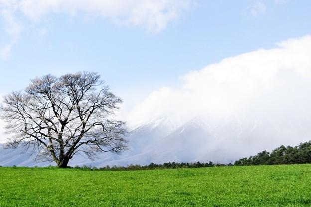 Photos: 写真00222 小岩井農場の一本桜と雲が晴れていく岩木山