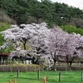 Photos: 写真00242 まきば園・・・上丸牛舎の桜