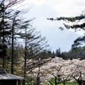 Photos: 写真00253 牛舎の桜並木