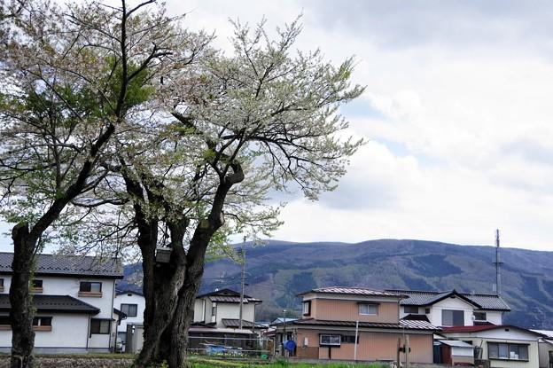 写真00648 加茂神社の桜