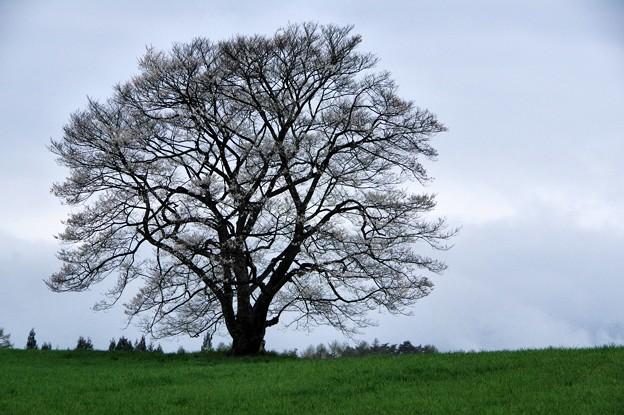 写真00737 小岩井農場の一本桜