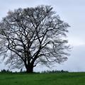 Photos: 写真00737 小岩井農場の一本桜