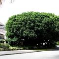 写真00109 樹齢400年といわれる「アコウ」の木