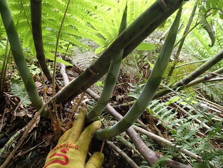 極太根曲がり竹