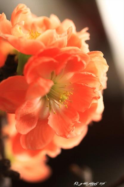 写真: 正月に咲かす木瓜 (3)