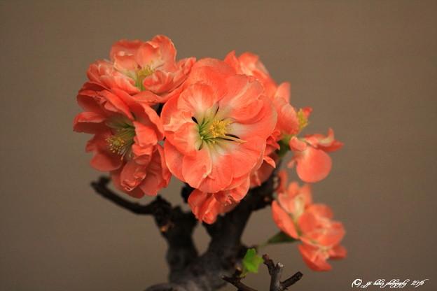 写真: 正月に咲かす木瓜 (4)