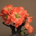 Photos: 正月に咲かす木瓜 (4)