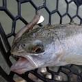 写真: ICEBOYで釣ったニジマス