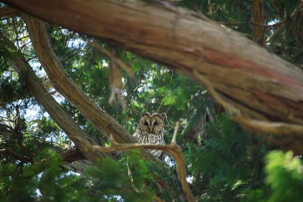 写真: フクロウ様がみてる