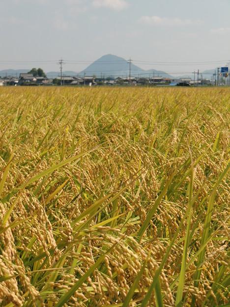 収穫を待ってます(by 近江富士)