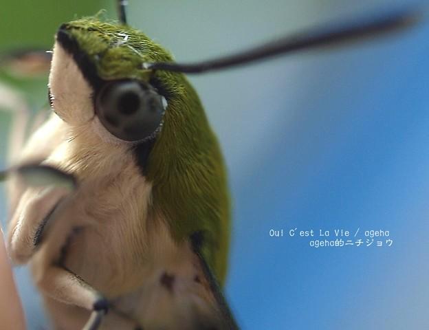 いつ見てもかわいいね。(オオスカシバ飼育。羽化)