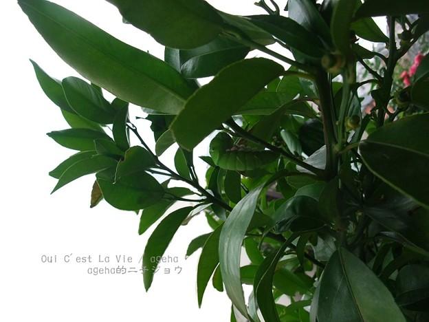 レモンの木で(ナミアゲハ)