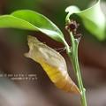 Photos: 羽化。瑞々しい抜け殻。(ナミアゲハ)