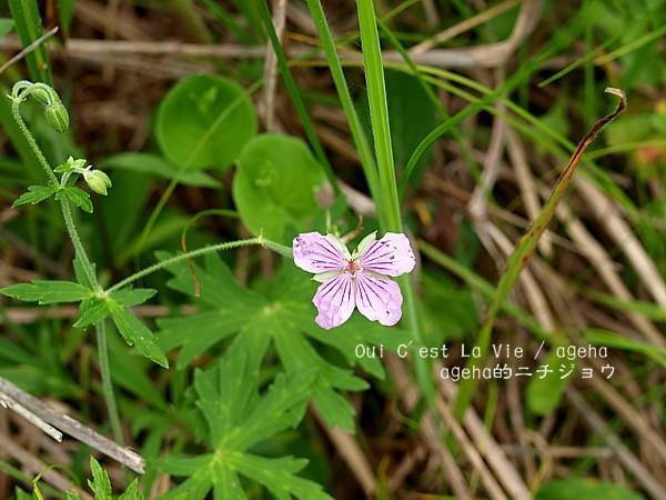 ピンクの蝶?と思ったら。