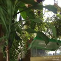 Photos: 室内とは思えないようなジャングル部屋。(ナミアゲハ飼育)