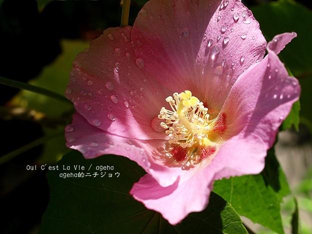フヨウは漢字で芙蓉のほうが素敵。