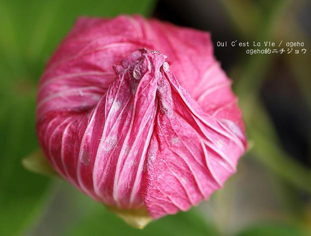 一夜花は巾着状に。(芙蓉)