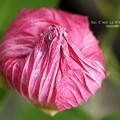 Photos: 一夜花は巾着状に。(芙蓉)