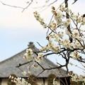 Photos: 梅の咲く風景。