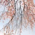枝垂れ桜-2