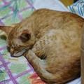 写真: 2009年6月30日の茶トラのボクチン(5歳)