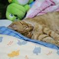 写真: 2011年8月17日の茶トラのボクチン(7歳)