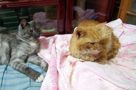 2012年9月24日の茶トラのボクチン(8歳)とクロちゃん(1歳)