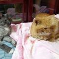 写真: 2012年9月24日の茶トラのボクチン(8歳)とクロちゃん(1歳)