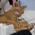 写真: 2010年9月26日の茶トラのボクちん(6歳)