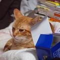 写真: 2010年9月30日の茶トラのボクチン(6歳)