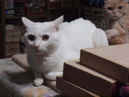 2015年11月12日のシロちゃん(2歳半)とスコちゃん(2歳10ヶ月)